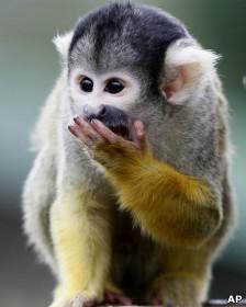 Macaco-de-cheiro. | Foto: AP