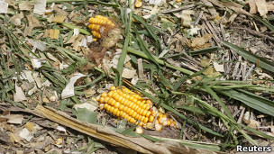 Срезанная кукуруза