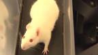 'Rato farejador' da Colômbia (BBC)