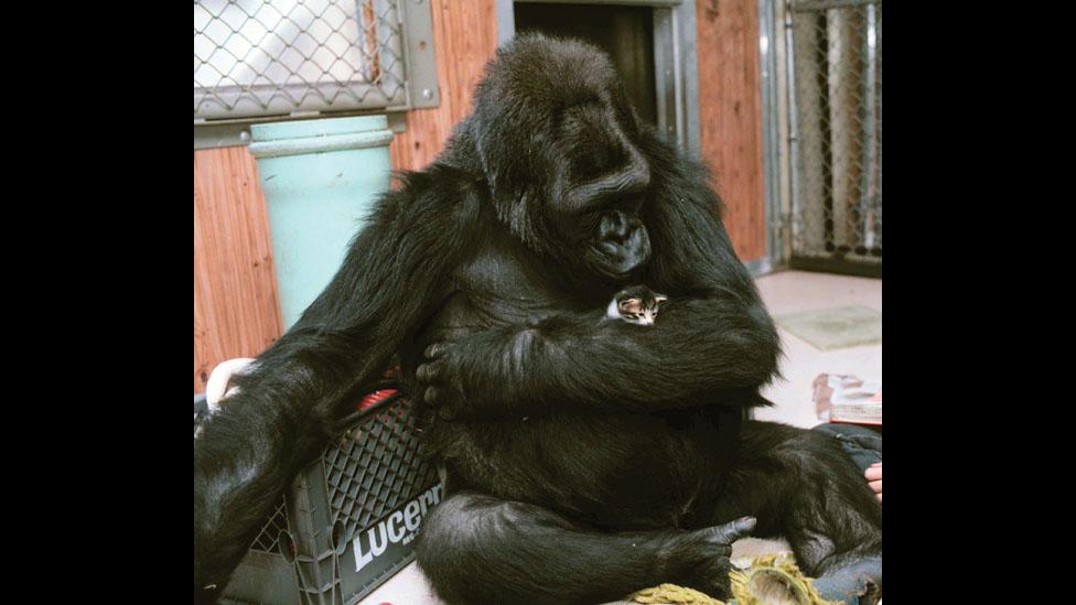 Foto: © Ron Cohn/Gorilla Foundation/koko.org