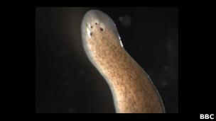 Científicos descubren gusanos potencialmente inmortales