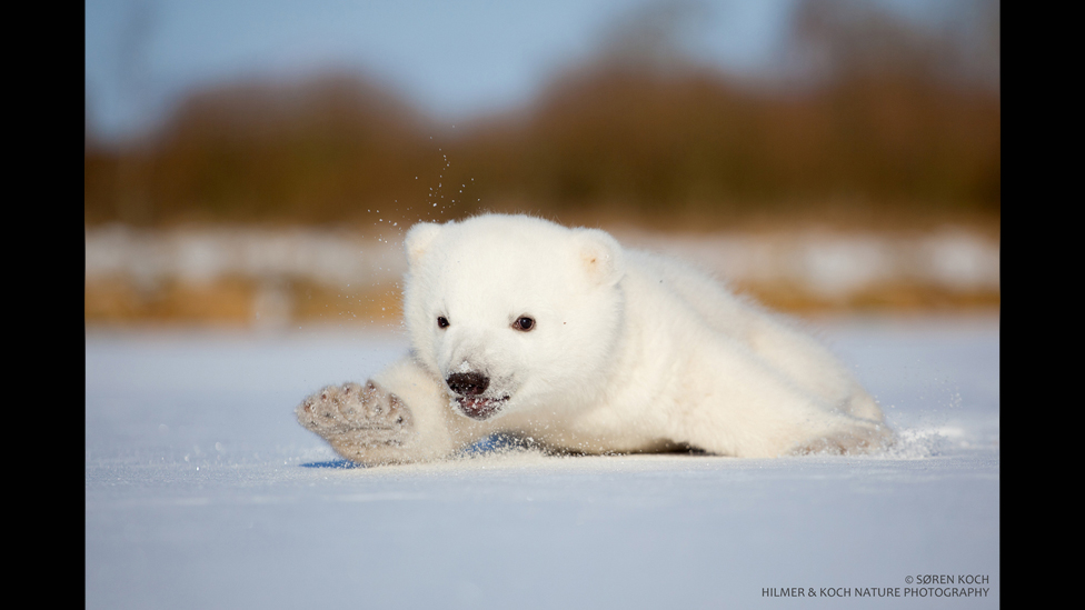 معلومات عن الدب القطبي بالانجليزي