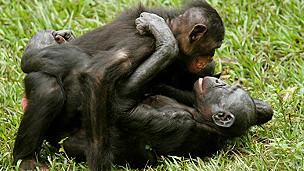 Los simios que anuncian su homosexualidad