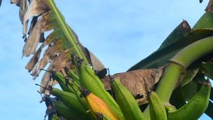 Sigatoka negra: el mayor enemigo del banano en A. Latina
