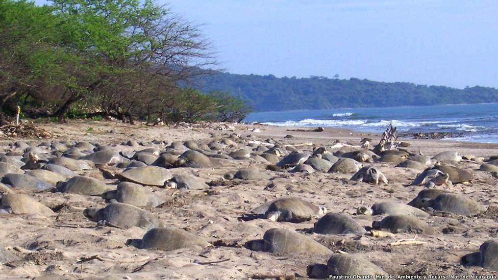 Arribada de tortugas paslamas (Olive ridley) en el Refugio de Vida Silvestre Río Escalante Chacocente, Nicaragua.