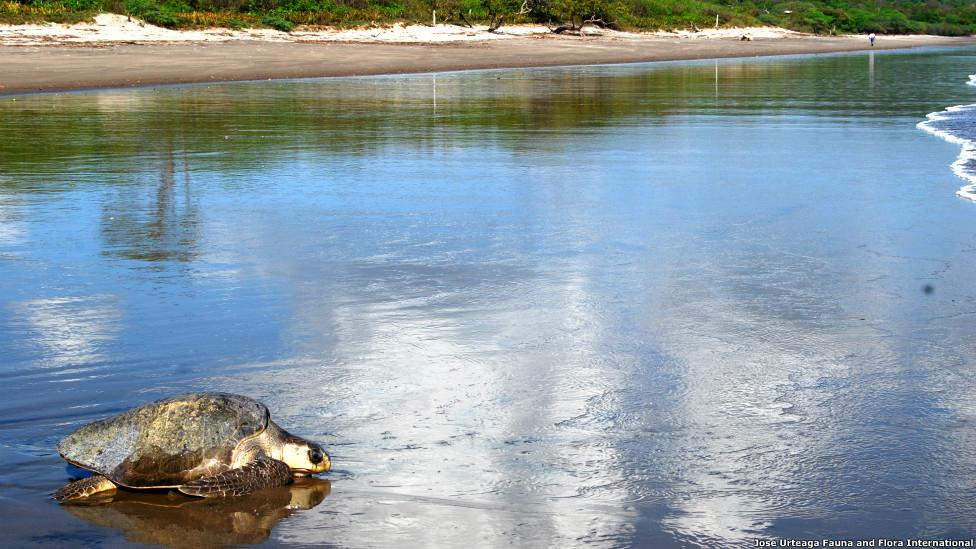 . Tortugas paslama (Olive ridley) regresando al mar depues de anidar en el Refugio de Vida Silvestre Río Escalante Chacocente, Nicaragua