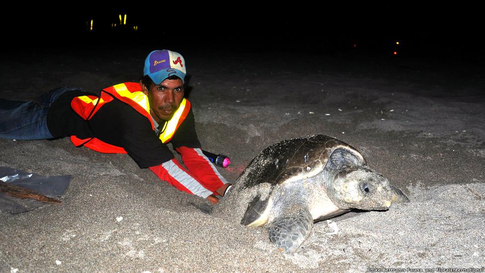 Colectando huevos de tortugas marinas.