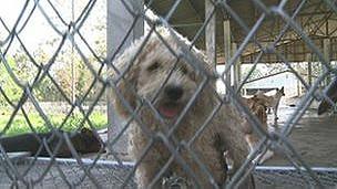 Perro en perrera de Tailandia