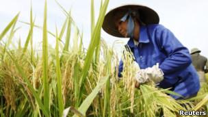 越南的稻田