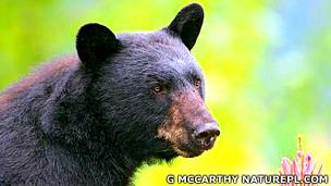 Oso negro Ursus americanus