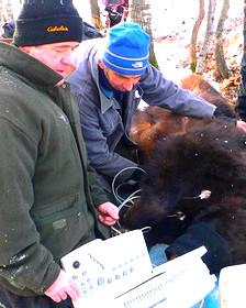 Investigadores estudian osos negros