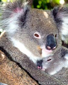 Koala con su cría