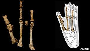Recostrucción del pié del hominido