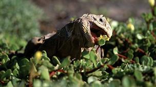 iguana en Galapagos
