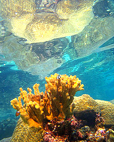 Corales en la isla Ofu Foto gentileza Stephen Palumbi Universidad de Stanfordad