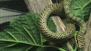 Cobra Chrysopelea ornata. Foto: LA Dawson/Licença Creative Commons