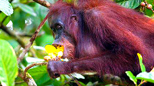 Orangután SPL