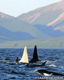 Orca blanca junto a su madre y hermanos E Lazarova/FEROP