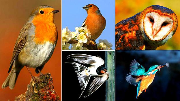 Las aves con plumaje rojizo o naranja tienen más problemas