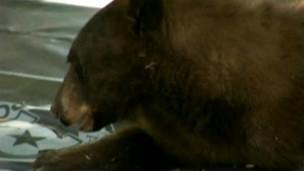 Urso capturado