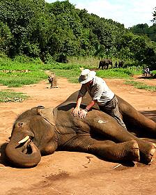 Nevin tratando una elefante adulta en Tailandia