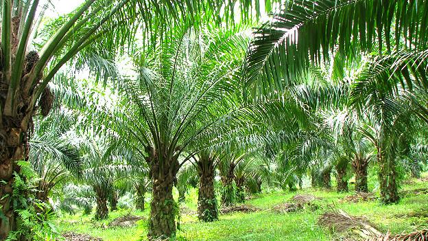 Plantaciones de palma aceitera en Perú