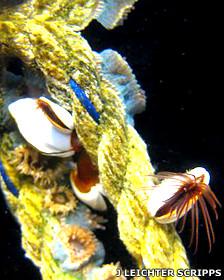 Percebes o crustáceos viviendo adheridos a un trozo de cuerda