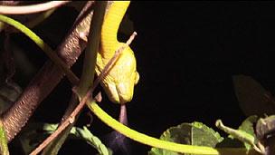 Uma cobra marrom de árvores é caçada em uma floresta de Guam (BBC)