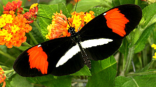 Heliconius melpomene melpomene Foto Chris Jiggins Universidad de Cambridge