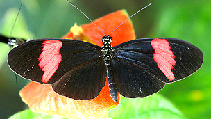 Heliconius melpomene amaryllis Foto: Chris Jiggins Universidad de Cambridge