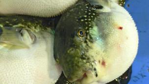 -http://wscdn.bbc.co.uk/worldservice/assets/images/2012/05/18/120518074107_fugu_fish_market__304x171_bbc_nocredit.jpg