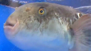 -http://wscdn.bbc.co.uk/worldservice/assets/images/2012/05/18/120518104050_fugu_fish_japan_304x171_bbc_nocredit.jpg