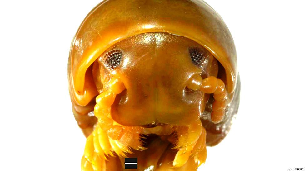Milpiés gigante, Crurifarcimen vagans
