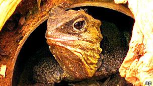 Tuátara, reptil que vive en el medio silvestre sólo en Nueva Zelanda