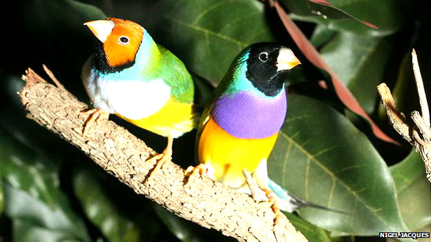 Pinzones, aves con cabezas de diferentes colores Foto: Nigel Jacques