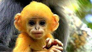 Bebé de color naranja del primate denominado langur de Phayre. Los adultos son grises