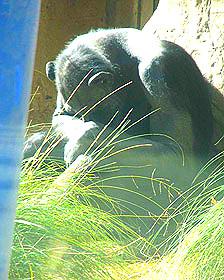 chimpancés en cautiverio Foto: Lucy Birkett
