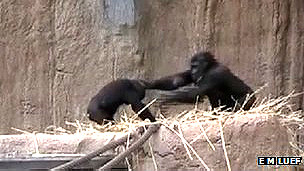 Madre gorila dando palmaditas en la cabeza a su hijo Foto: Eva Luef