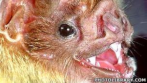 Murciélago vampiro (Desmodus rotundus) Foto Photolibrary.com