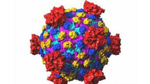 Reovirus