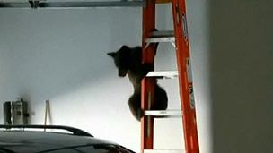 Guiado pela mãe, ursinho conseguiu escapar de garagem (BBC)
