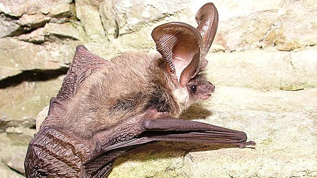 Murciélago orejudo gris (Plecotus austriacus) Foto: R. Crompton/ Wildwood Ecology Ltd