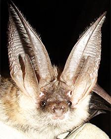 Murciélago orejudo gris (Plecotus austriacus) Foto: Daniel Hargreaves