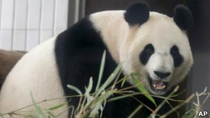 Panda / AP