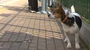 Patch, o cãozinho da raça Jack Russell, voltou ileso para casa (BBC)