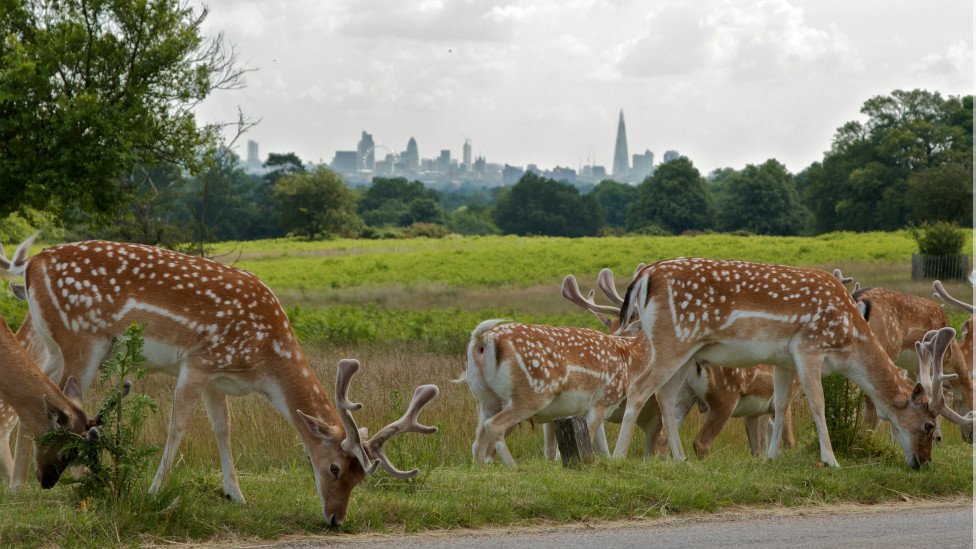 Cervos no Richmond Park (Foto: Terry Wilson / BBC Brasil)