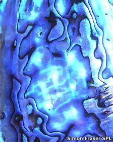 Nácar en el interior de un molusco, abulón Foto: Simon Fraser/SPL