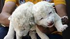 cachorros de león blanco en puebla