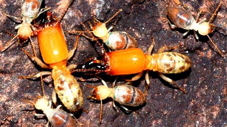 Termitas de la especie Neocapritermes taracua, que envían a sus ancianas en misiones suicidas
