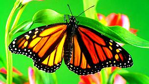Mariposa monarca Foto: DAVID AUBREY/SCIENCE PHOTO LIBRARY